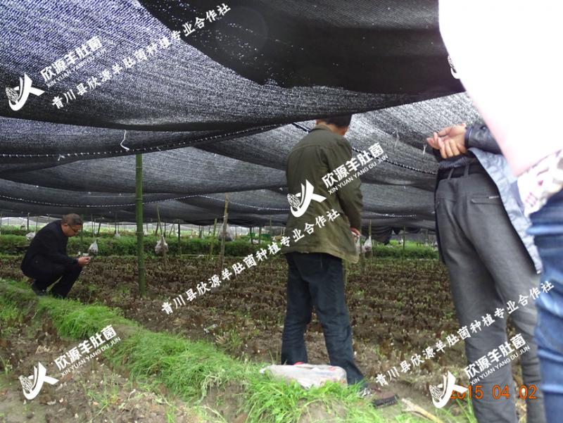 欣源羊肚菌菌种种植
