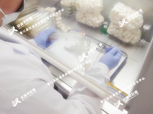 羊肚菌菌母培育