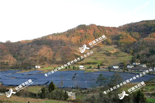 贵州专业新鲜羊肚菌种植技术