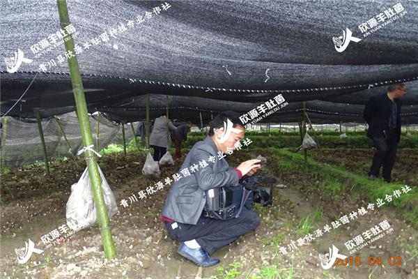 苏州优质羊肚菌菌种种植技术