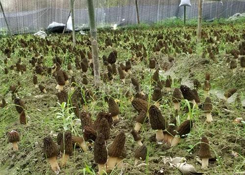 四川羊肚菌菌种