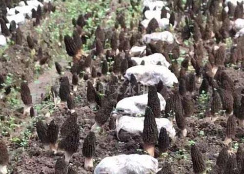 羊肚菌菌种