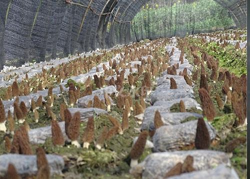 羊肚菌种植