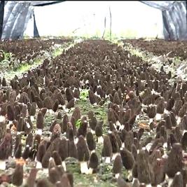 羊肚菌出菇实况