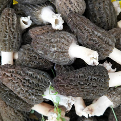 梯棱羊肚菌鲜品