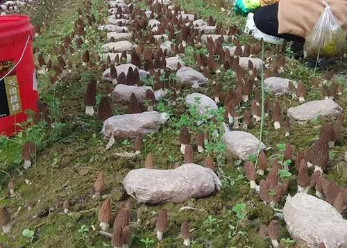 羊肚菌菌种种植基地