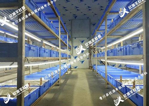 羊肚菌菌种培育