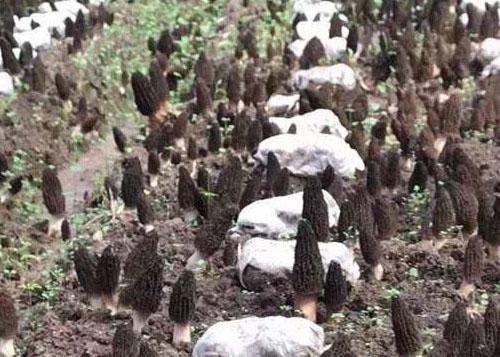 羊肚菌营养价值